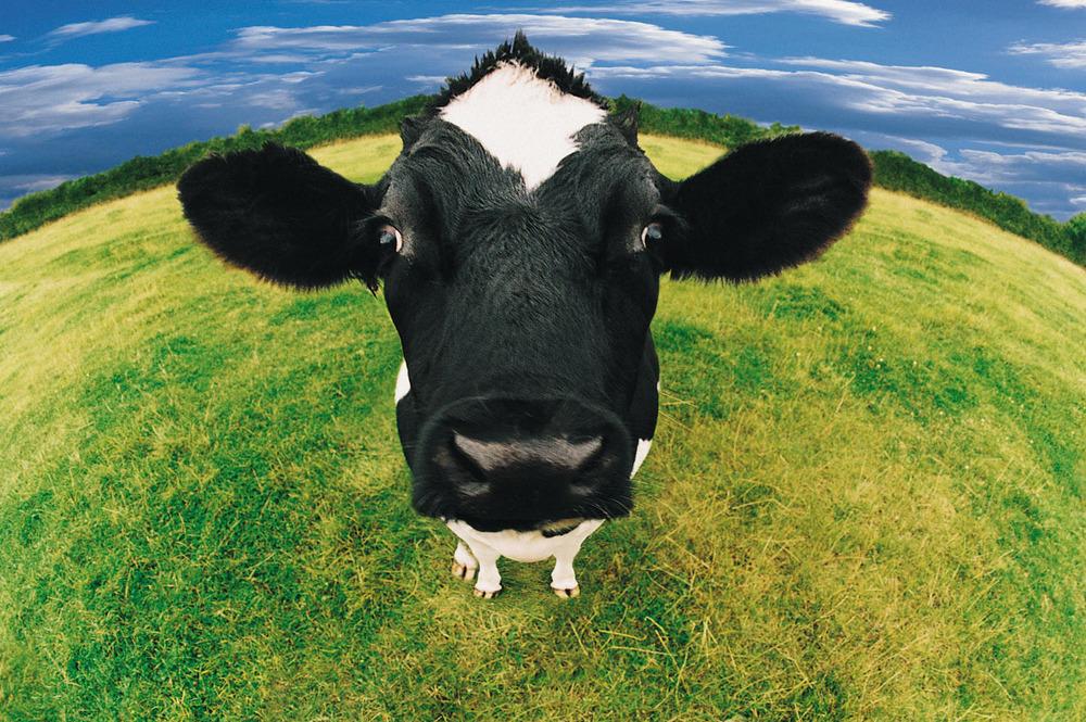 牛是人類的好朋友